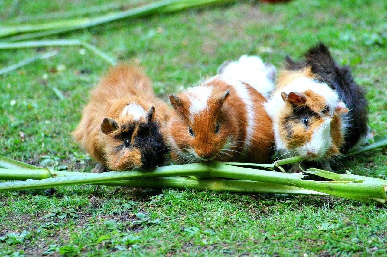 guinea-pig-208438_1280