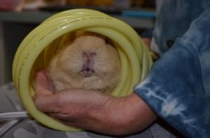 Chickpea-a-senior-guinea-pig-enjoying-his-PEMF-treatment