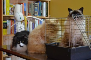 Chilled-out-cats-Meg-Oscar-and-Tappi-in-for-their-annual-check-up-2