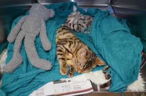 Danger-and-Mouse-16-week-old-Bengal-kittens-recovering-after-being-speyed-1