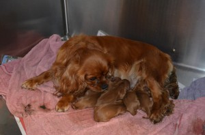 Dream-the-Cavalier-King-Charles-Spanial-gave-birth-to-six-healthy-pups-after-some-assistance.