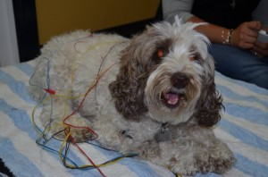 Freckle-the-Spoodle-having-electro-acupuncture-for-back-problems.