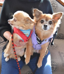 Herbie-and-Oona-cuddly-chihuahuas-in-for-a-check-up