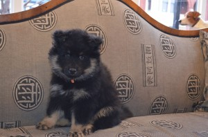 Midas-the-Finnish-Lapphund-pup-described-as-a-heart-throb-by-his-owners