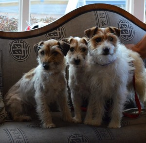 Seeing-triple-Rosie-Billy-and-Rusty-three-lovely-wire-haired-Jack-Russell-Terriers.